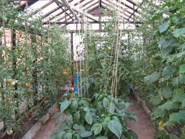 Перец с помидорами в одной теплице | вырасти сад!