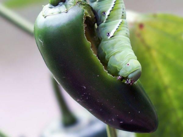 Почему гусеница ест перец