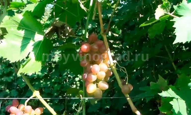 Виноград блестящий: подробное описание высокоурожайного сорта и его фото, характеристики и особенности выращивания