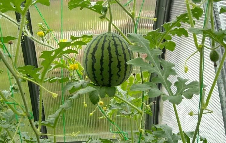 Выращивание арбузов на урале в теплице: особенности и лучшие сорта + фото и видео