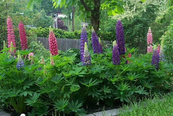 Бобовое растение люпин: описание и фото, как вырастить и использовать в качестве сидерата