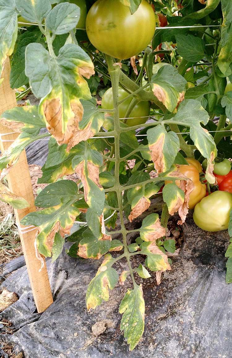 Фузариозное увядание томатов: способы лечения