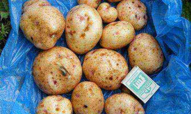 Свитанок киевский – сорт картофеля и описание + видео