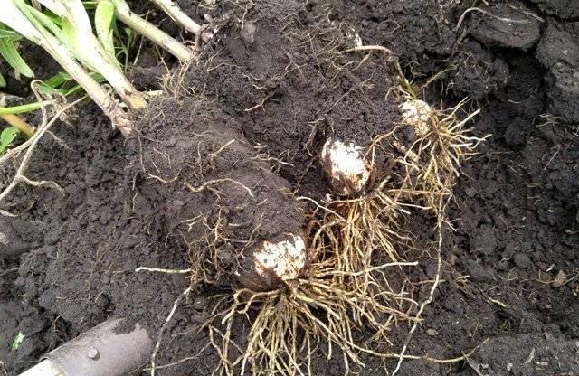 Пересадка лилий весной: можно ли пересаживать их весной с одного места на другое? последующий уход в открытом грунте. в каком месяце пересадить?