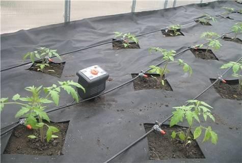 Капельный полив для помидор из пластиковых бутылок своими руками - всё про сады