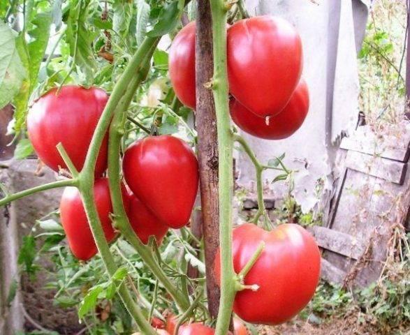 """Томат чудо уолфорда - описание сорта, урожайность, фото и отзывы садоводов - журнал """"совхозик"""""""
