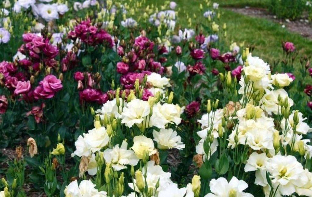 Эустома: посадка в открытый грунт,выращивание,размножение,фото,видео. | растюнька