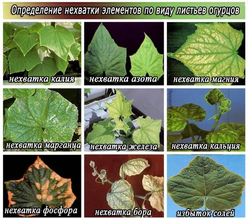 Мраморные листья на огурцах: причины, как бороться видео