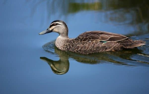 Чем отличается дикая утка от домашней - рыболовный караван