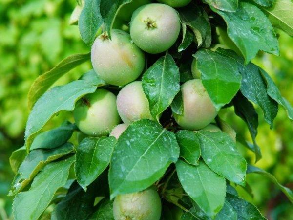 Колоновидная яблоня. все от выбора сорта до сбора урожая
