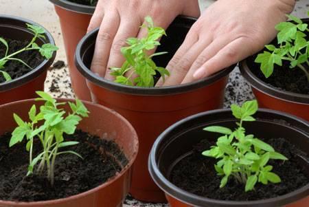 Правила, рекомендации и тонкости посадки помидоров