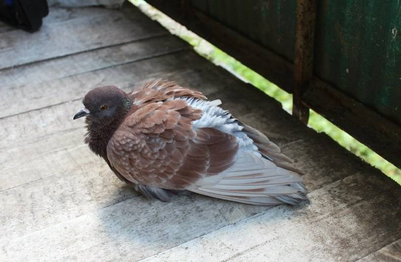 «эти болезни унесли тысячи жизней»: ученые коми рассказали, чем опасны голуби | новости сыктывкара | про город сыктывкар