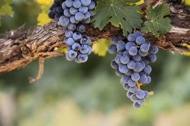 Обрезка винограда для начинающих. пошаговая обрезка винограда осенью, видео и фото