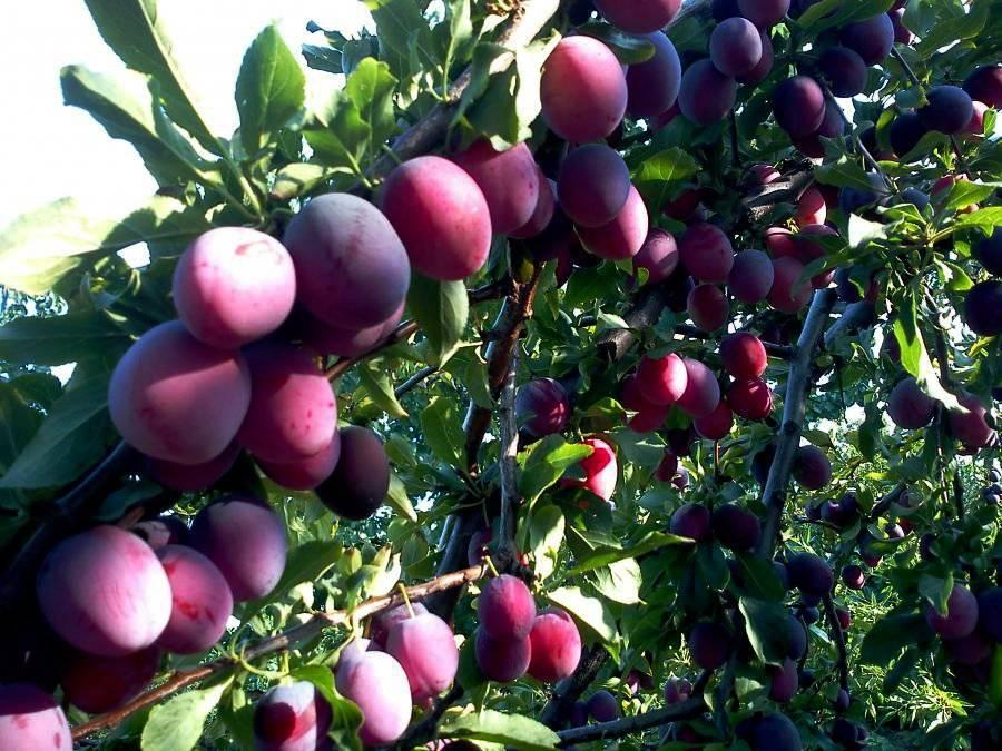 Самые крупноплодные сорта сливы