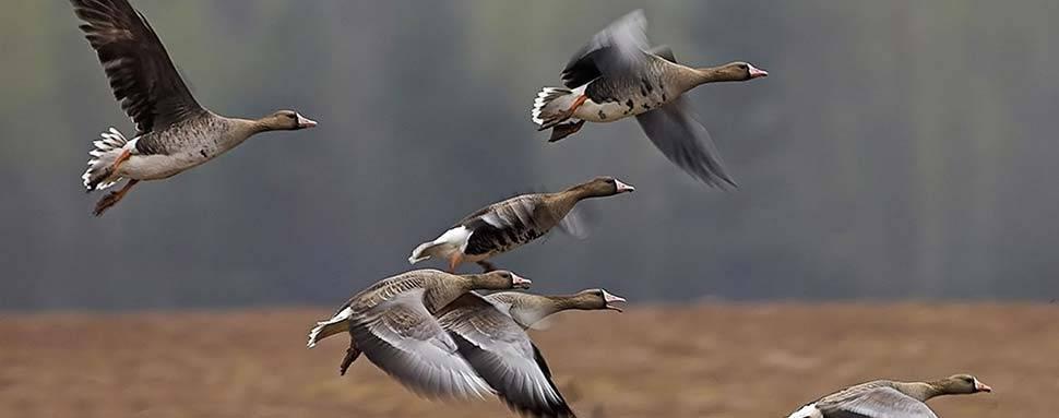 Охота на гуся. охота на гуся весной. правила охоты :: syl.ru