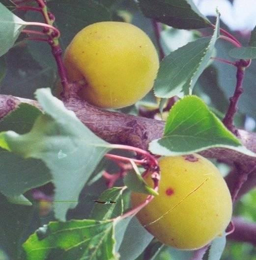 Описание сорта абрикосов кичигинский, выращивание, посадка и уход