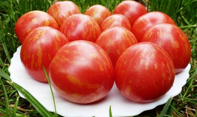Томаты гном томатный: разновидности сортов, характеристика и описание, урожайность с фото