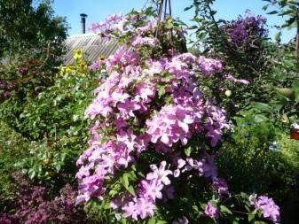Клематис комтесс де бушо: фото и описание, отзывы садоводов