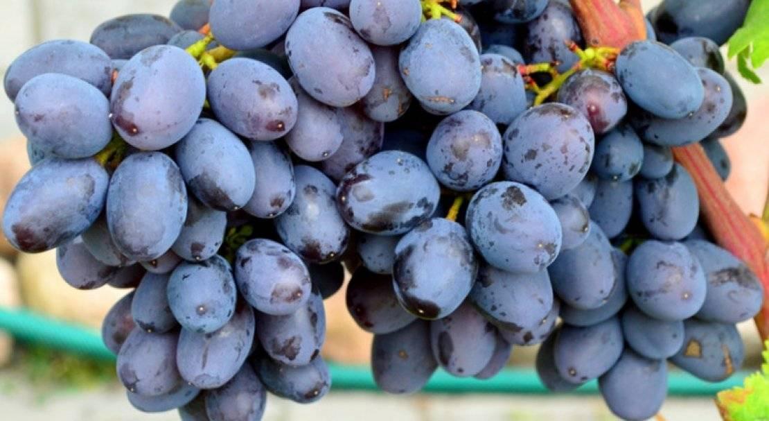 Виноград паломино (каталон зимний): что нужно знать о нем, описание сорта, отзывы