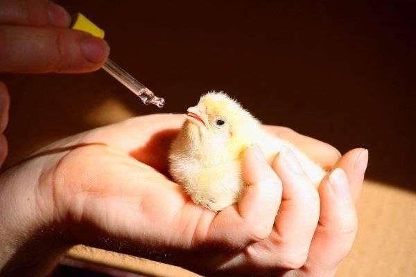 Препарат метронидазол для лечения цыплят бройлеров