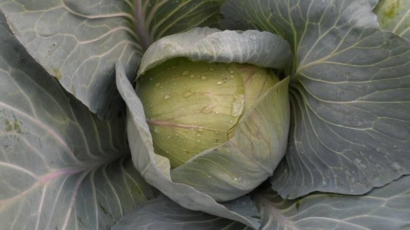 Зимние сорта капусты с описанием и фото: лучшие сорта
