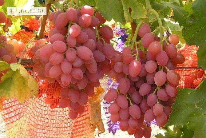Самые лучшие сорта винограда «кишмиш»
