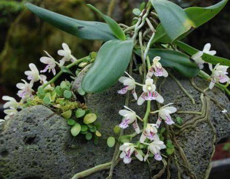 Орхидеи в природе: общее описание, ареал обитания, виды (сапрофиты, эпифиты, наземные виды) + распространенные сорта