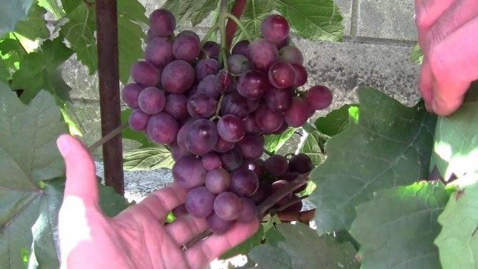 Галахад: популярный российский сорт винограда