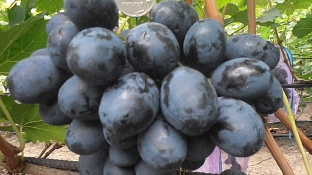 Виноград фурор: описание сорта и его фото, характеристики и особенности, вредители и заболевания selo.guru — интернет портал о сельском хозяйстве