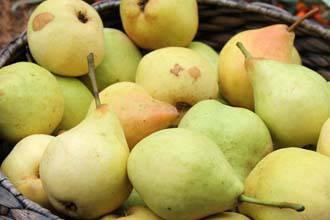 Лучшие сорта груш для средней полосы россии: список колоновидных и сезонных