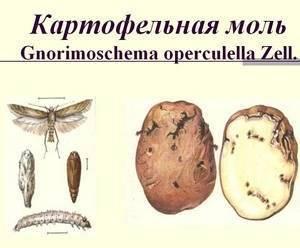 Картофельная моль - как эффективно бороться с вредителем?