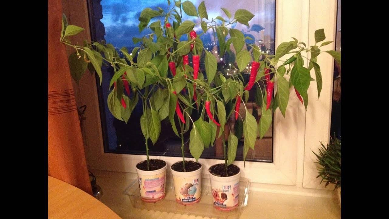 Комнатные перцы - огород