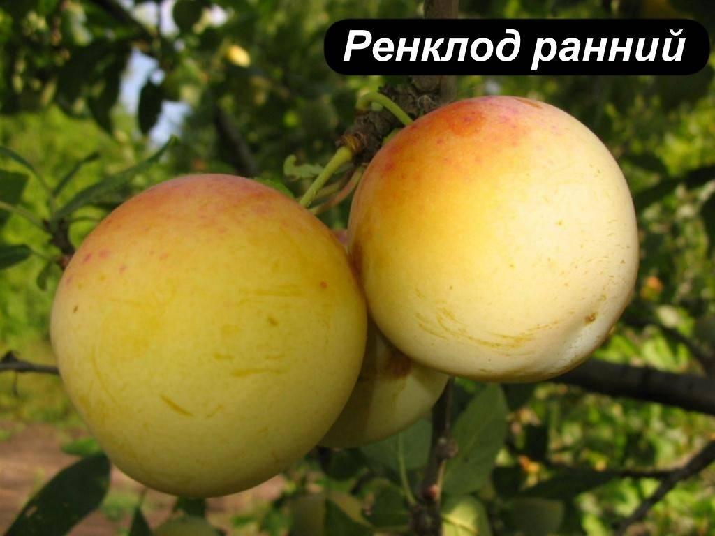 Слива ренклод: популярные сорта, в том числе советский и колхозный, особенности посадки и ухода с фото и видео, отзывы