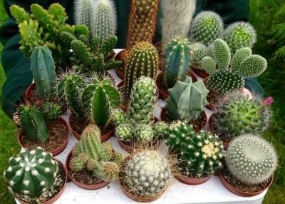 Кактус без колючек (16 фото): виды домашних кактусов без иголок