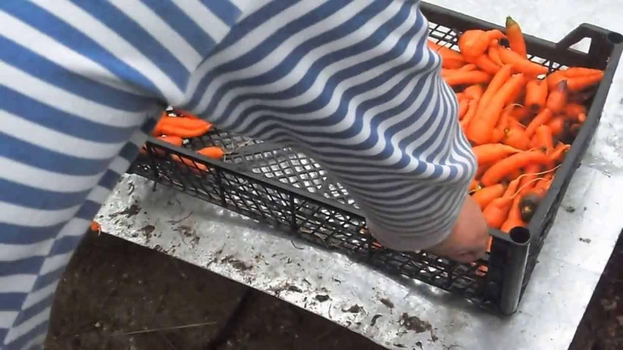 Морковь: какое семейство, как чистить, фото