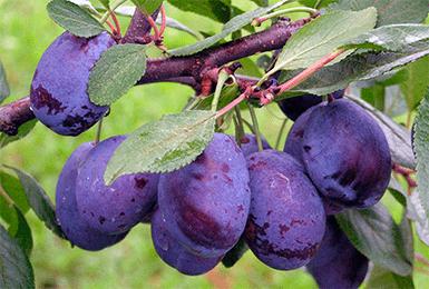 Сорта сливы для подмосковья - 25 самых лучших, сладких, крупных,вкусных,ранние,самоплодные,правила выращивания для получения хорошего урожая