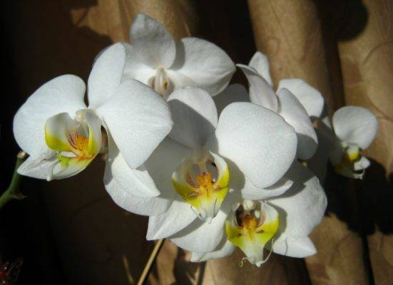 Мастер-класс по пересадке и делению орхидеи каттлея в домашних условиях