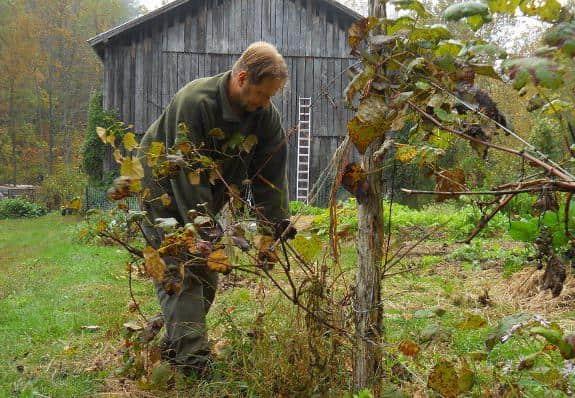 Подкормка винограда осенью удобрениями: как проводить перед обрезкой и укрытием, дозировки, основные правила