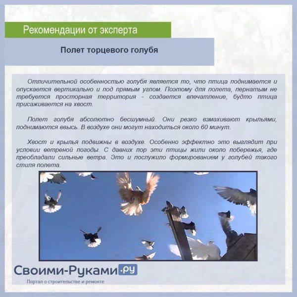 Николаевские голуби: описание, особенности разведения, лечение болезней