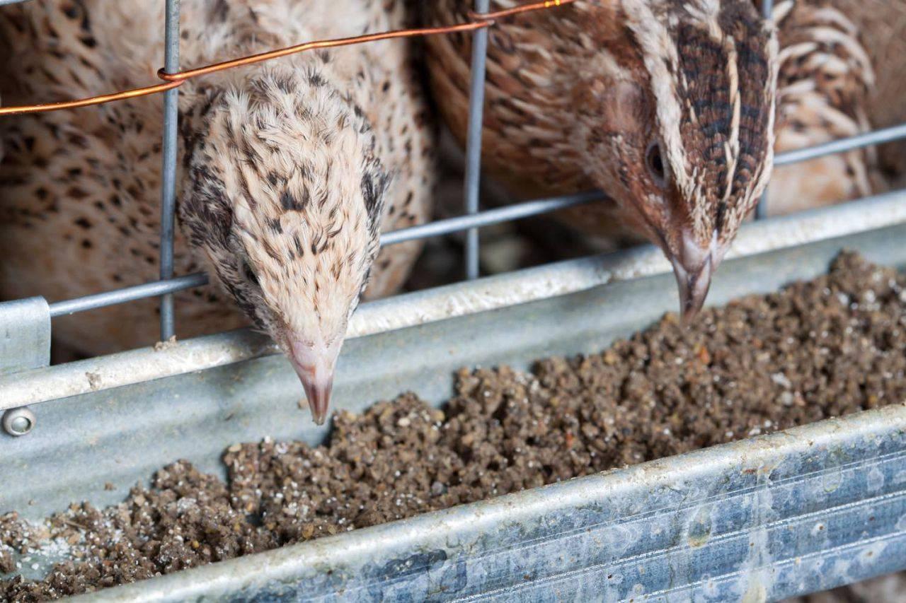Чем кормить несушек перепелов, чтобы хорошо неслись: кормление перепёлок и состав корма