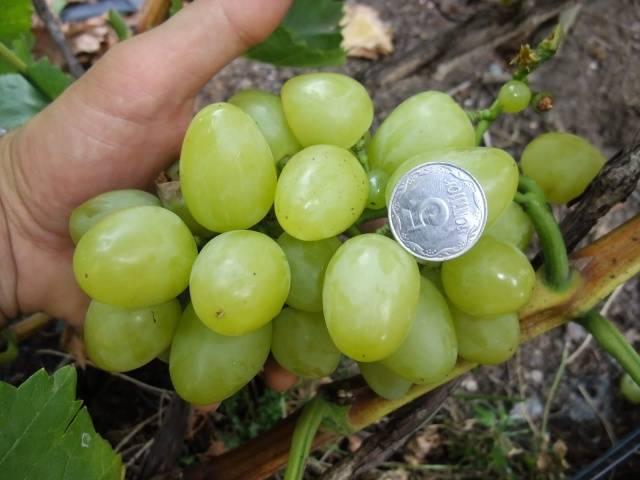Всё о сорте винограда «белое чудо» от особенностей выращивания до фото и отзывов о нём