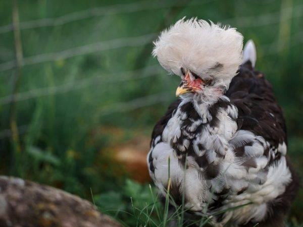 Павловские куры — настоящее украшение сельского двора