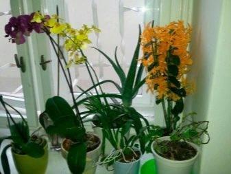 Орхидея дендробиум нобиле (dendrobium nobile): уход, выращивание
