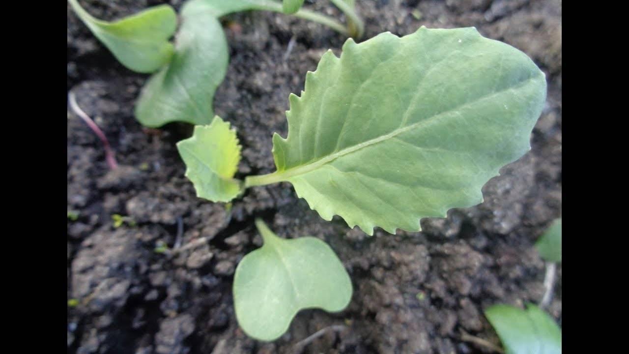 Какой мороз выдерживает капуста на корню?