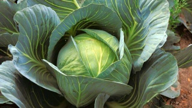 Капуста престиж f1: описание сорта, отзывы, урожайность, фото