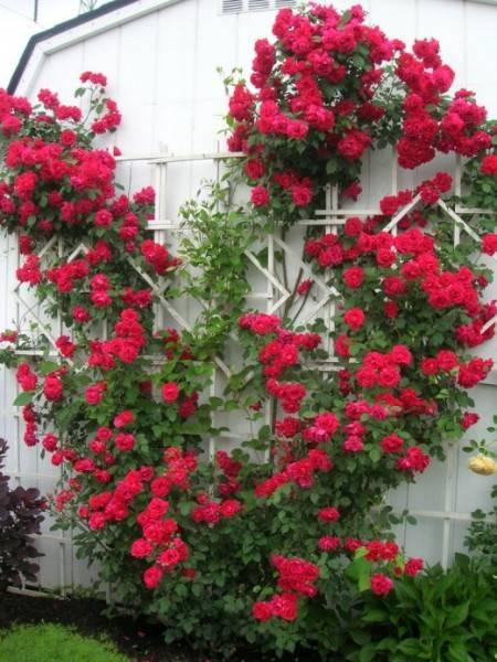 Многолетние вьющиеся растения для сада, способные плестись и цвести