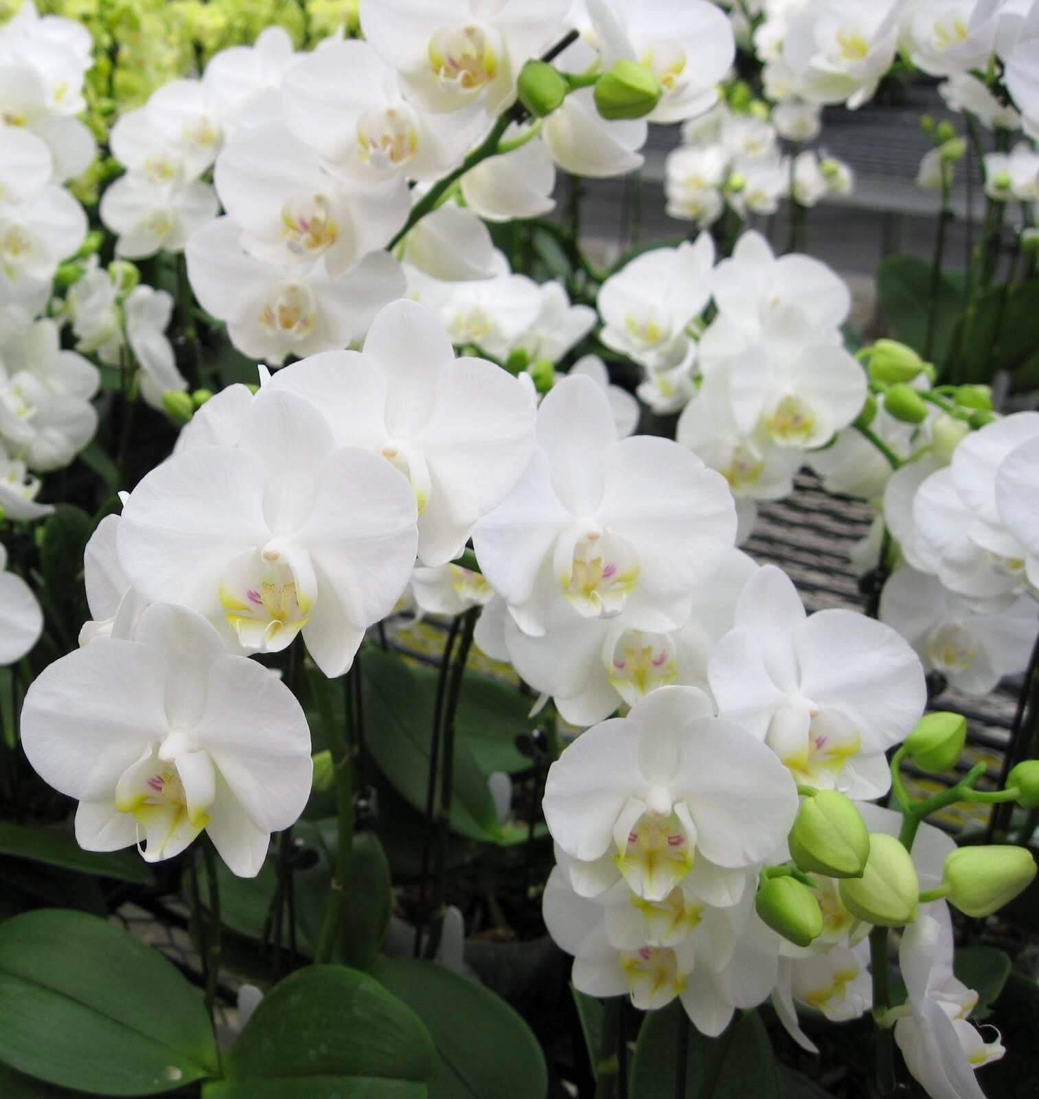 Розовая орхидея: основные отличия дракона, шиллера и пантеры (с белыми пятнами ) от других видов фаленопсисов с фото, как правильно сажать и ухаживать за ними