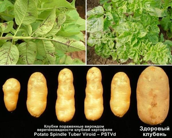 Почему скручиваются листья у картофеля: что делать, как лечить