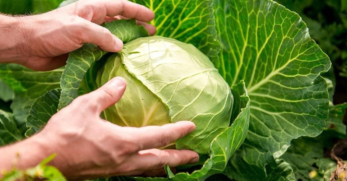 Можно ли и как заморозить капусту белокочанную на зиму в морозилке? русский фермер