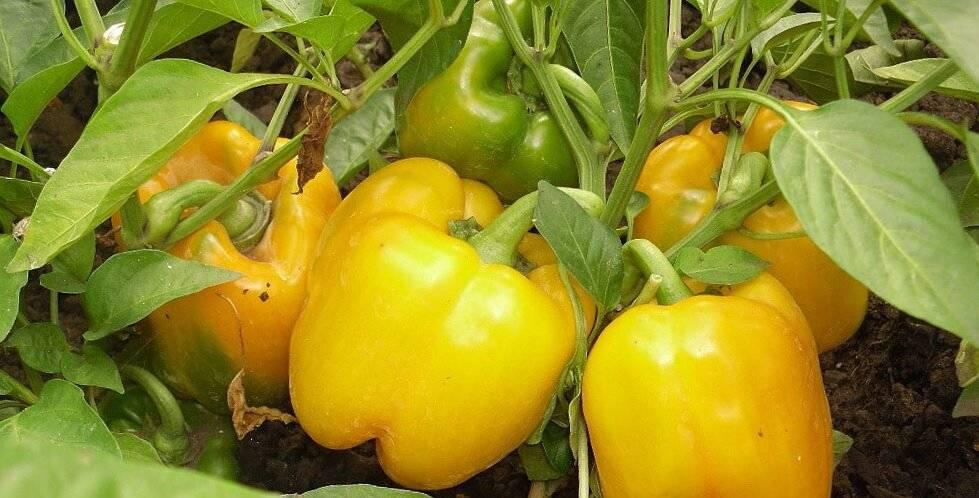 Чем подкормить перцы: в теплице и открытом грунте